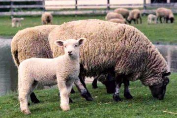 Хороший бизнес-план по разведению овец романовской породы