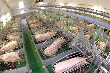 Типовой бизнес-план свинофермы для начинающих