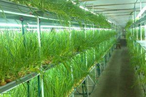 Готовый бизнес-план по выращиванию зеленого лука в теплице