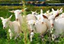 Готовый бизнес-план по разведению коз с расчетами