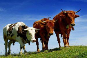 Пошаговый бизнес-план выращивания КРС мясного направления