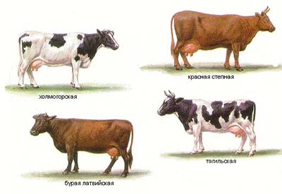 Тип скота
