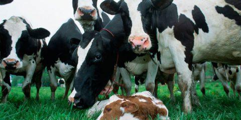 Бизнес для сельского хозяйства по разведению коров
