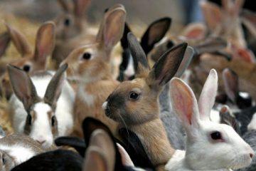 Домашний бизнес по разведению кроликов