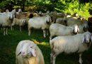 Как преуспеть в бизнесе разведения овец