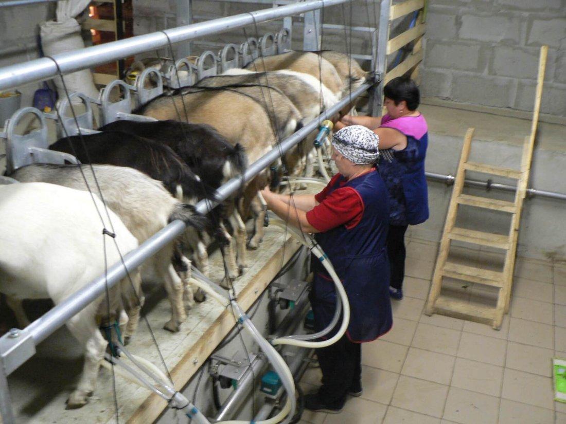 Выгодно или нет выращивать коз