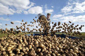 Бизнес на выращивании и продаже картофеля