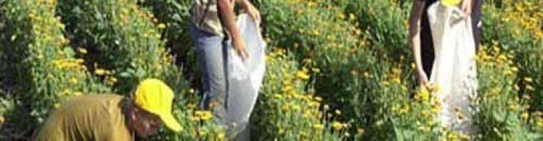 Бизнес на выращивании лекарственных трав