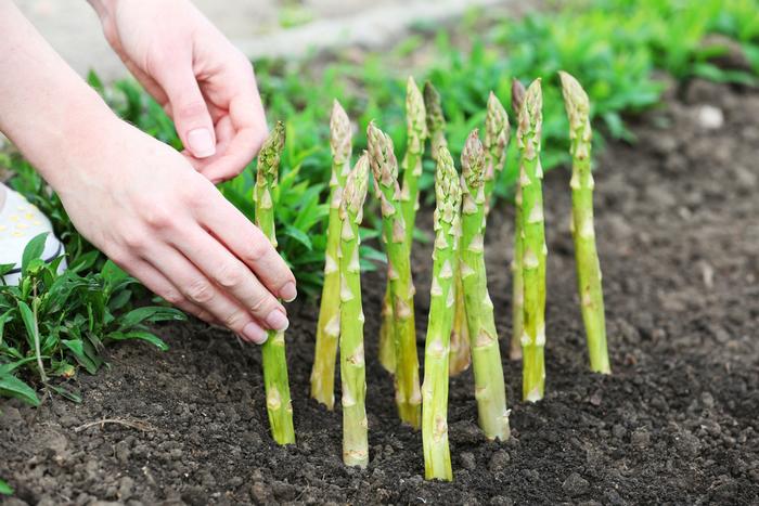 Выращивание спаржи в открытом грунте