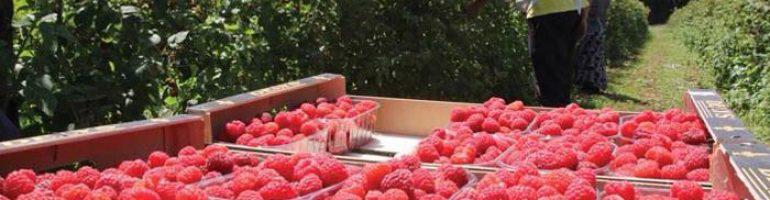 Как заработать на выращивании малины