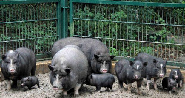 Для разведения вьетнамских свиней лучше выбирать одинаковых по темпераменту животных