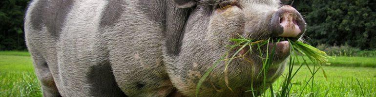 Выращивание вьетнамских свиней для бизнеса