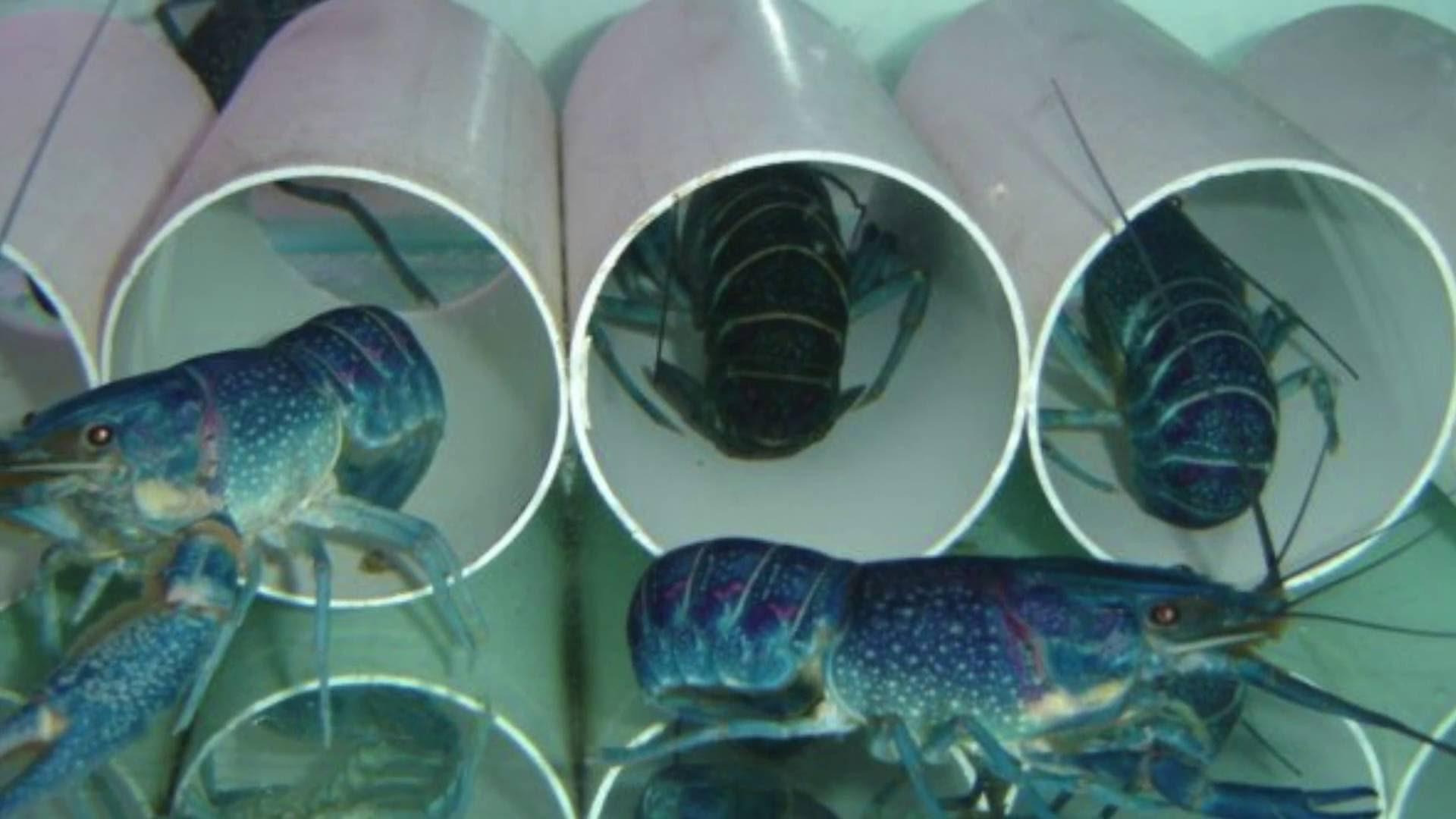 В домашних аквариумах