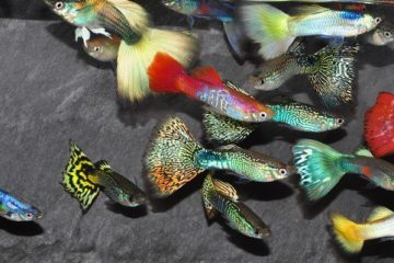 Разведение рыбок гуппи для бизнеса