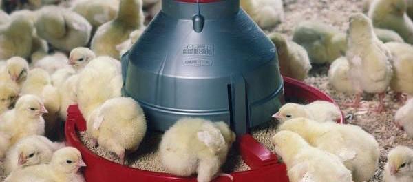 Для разведения птенцов