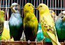 Разведение волнистых попугаев для бизнеса