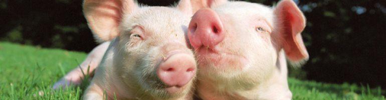 Разведение свиней для бизнеса