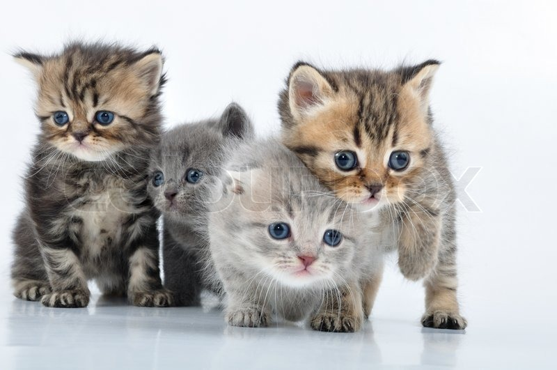 Приобретение котят