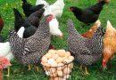 Заработок на продаже куриных яиц